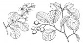 Branch of Saskatoon tree which is in the rose family Its leaves are oval-shaped and similar in flavor to blueberries The tiny flowers are snowy white with five petals and 12  20 stamens vintage line drawing or engraving illustration