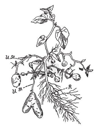 Illustration pour Il s'agit de la plante de pomme de terre. La racine est accidentelle résultant de la base de la pousse, vintage ligne dessin ou une gravure illustration. - image libre de droit