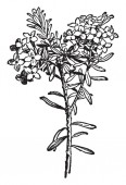 Daphne Cneorum is flowering plant. Flower heads are pink and fragrant. Flowers have four petals, vintage line drawing or engraving illustration.