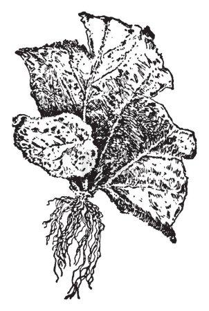 Illustration pour Cette illustration représente la plante résultant de bégonia qui est une plante provenant de la ligne de démarcation base, vintage ou gravure illustration. - image libre de droit