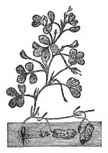 The peanut plant has procumbent stems and grows to around 05 m (20 in) tall The tubular 5-parted flowers are yellow and self-fertile Peanuts are grow under the ground as shown in the picture vintage line drawing or engraving illustration