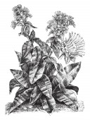 A plant of the American genus Helenium up to 16 m (5 ft) tall some species of which are grown as border plants for their daisy-like yellow or multicolored flowers vintage line drawing or engraving illustration