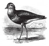 Dotterel is a small wader in the plover family of birds vintage line drawing or engraving illustration