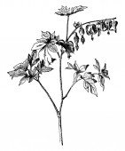 Spreading hearts have heart shaped flowers The leaves are deeply sinuate to lobed About 20 flowers are born on the horizontal branch vintage line drawing or engraving illustration
