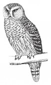 Hawk Owl is about 15 inches long and feeds on rabbits vintage line drawing or engraving illustration