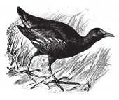 Florida Gallinule is a subspecies of the Common Moorhen vintage line drawing or engraving illustration