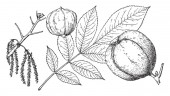 This branch of Shalbark hickory tree there are some nuts on branch leaves are very margin type vintage line drawing or engraving illustration