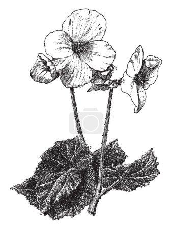 Illustration pour Begonia Tuberhybrida est plante. Les fleurs ont quatre pétales et tige est velue, ils découlant de la tige de nœud, vintage dessin au trait ou une gravure illustration. - image libre de droit