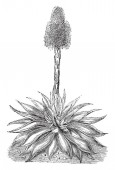 This is a flower of Agave Celsiana It is on leafless stalk which is about four feet tall and leaves are at bottom vintage line drawing or engraving illustration