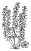 A picture shows Althaea Officinalis Plant Its leaves flowers and the root have been used in traditional herbal medicine It is also called as marshmallow vintage line drawing or engraving illustration