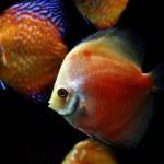 Red Marlboro Discus Fish - (Symphysodon sp.)...