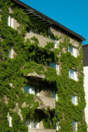 Photo for View of building overgrown with grape vine at sunny day - Royalty Free Image