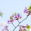 Cherry blossom in spring for background or copy sp...