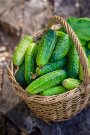 Photo for Basket with cucumbers. Autumn harvesting. Summer harvest. Blanks for the winter. Basket of vegetables. Fresh basket of vegetables. Fresh cucumbers - Royalty Free Image