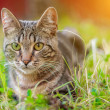 The tabby cat is lying in the grass. House cat on ...
