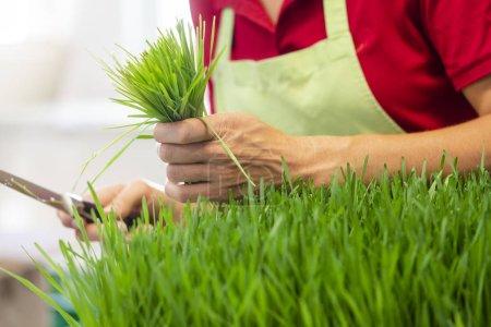 Gardener harvesting wheatgrass