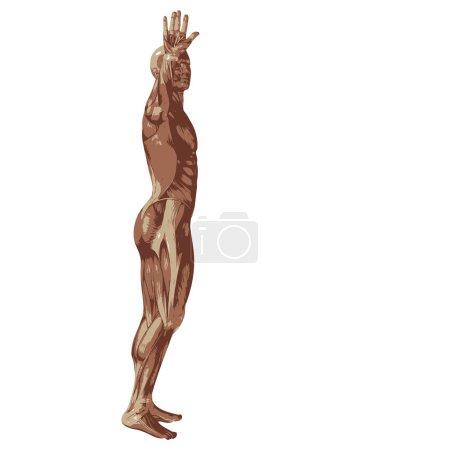 Photo pour 3D homme ou homme avec des muscles pour les conceptions de l'anatomie ou de sport. Un mâle isolé sur fond blanc - image libre de droit