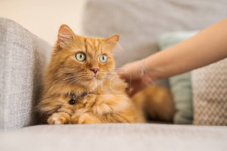 Photo for Cuddling beautiful ginger long hair cat lying on the sofa on a sunny day at home - Royalty Free Image