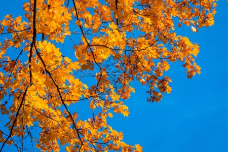 Photo pour Tree crowns in autumn in the forest - image libre de droit