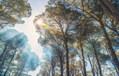 Photo pour Géant vieux fond arbres de pin, douce journée ensoleillée en automne, rayons de soleil font leur chemin à travers la cime des arbres, beauté de la nature sauvage, ascendante vie - image libre de droit