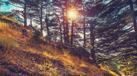 Cedars of God forest