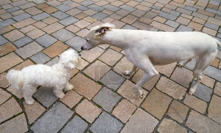 hound greyhound and Maltese bichon dogs playing smelling each other