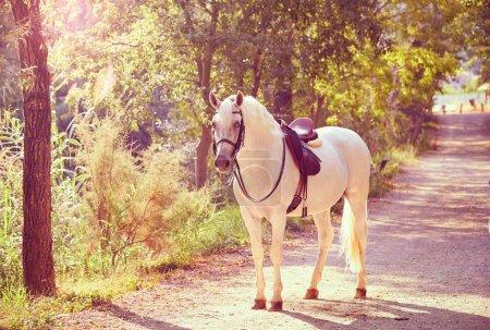 Photo pour Cheval blanc dans une piste forestière détendue debout - image libre de droit