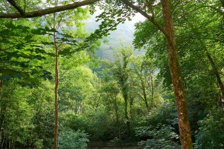 Forêt de Covadonga dans les montagnes des Asturies Picos de Europa Espagne