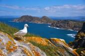 Islas Cies islands seagull sea gull bird in Galicia at Spain