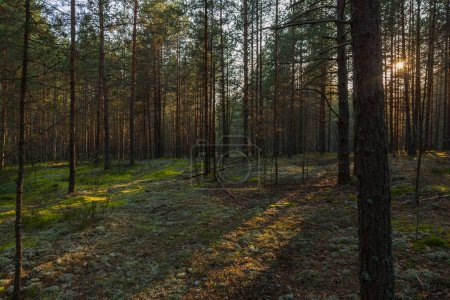 Photo for Pine forest and moss on the ground - Royalty Free Image