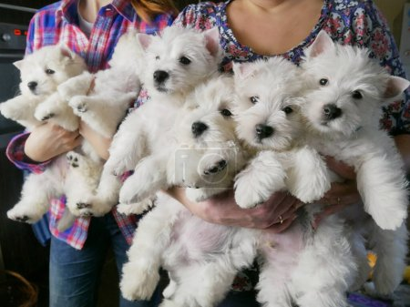Funny white west highland terrier dogs puppy sits ...