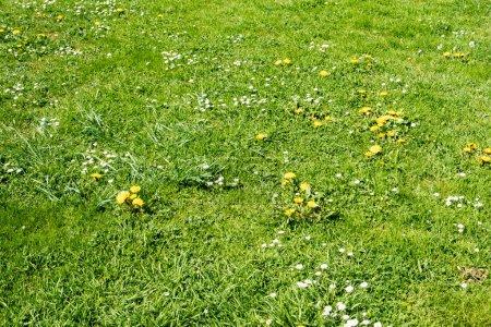 Photo pour Pelouse verte de ressort avec des fleurs et des marguerites de pissenlit - image libre de droit