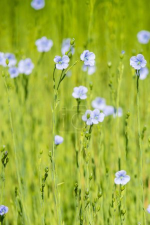 Photo pour Champ de lin bleu gros plan au printemps faible profondeur de champ - image libre de droit