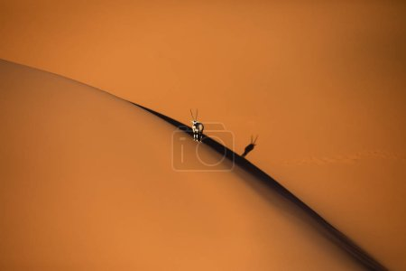 Photo for Solitary oryx standing on a sand dune in Sossusvlei desert during sunset on the edge of shadowy and light sand. Sossusvlei, Namibia. - Royalty Free Image