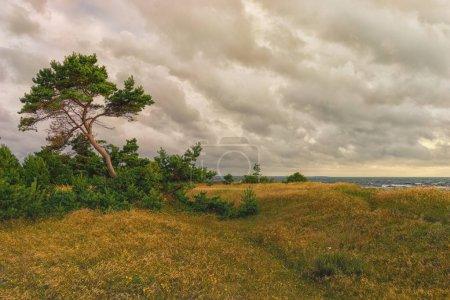 Photo pour Côte avec un pin dans les dunes avec de l'herbe jaune de la Baltique sur les îles d'Estonie un soir d'été - image libre de droit