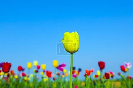 Photo pour Champ de printemps avec des tulipes colorées en fleurs - image libre de droit
