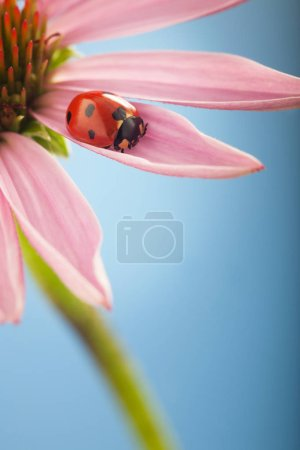 Photo pour Coccinelle rouge sur fleur d'échinacée à fond bleu - image libre de droit