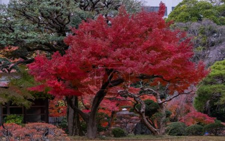 Photo for Japanese Red Maple tree and leaves at a Tokyo Garden in autumn - Royalty Free Image
