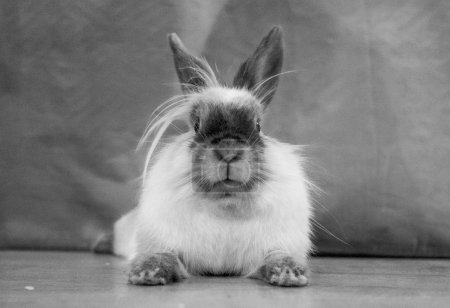 Photo for Cute fluffy rabbit on wooden floor - Royalty Free Image