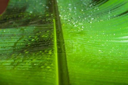 Foto de Hoja de plátano verde texturizado con gotas de agua como fondo - Imagen libre de derechos
