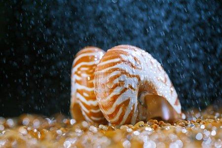Close view of sea shells nautilus on pebbles