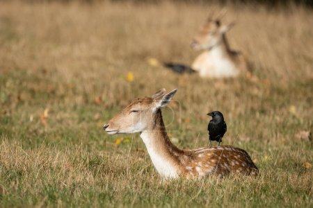 Photo pour Belle image de Fallow Deer Dama Dama dans le champ d'automne et paysage boisé - image libre de droit
