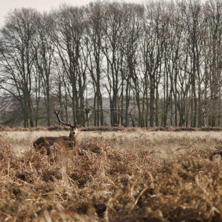 Photo pour Cerf rouge cerf cerf Cervus Elaphus avec des antelrs majestueux en automne automne paysage de mousse d'automne - image libre de droit