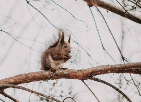Red squirrel with fluffy ears sits on a branch and gnaws nut
