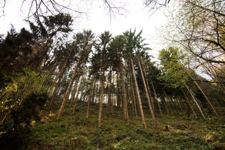 Tall pines canopies in French forest