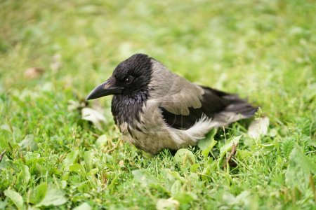 bird magpie on the green grass