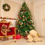 Beautiful young shepherd dog with Santa Claus hat ...