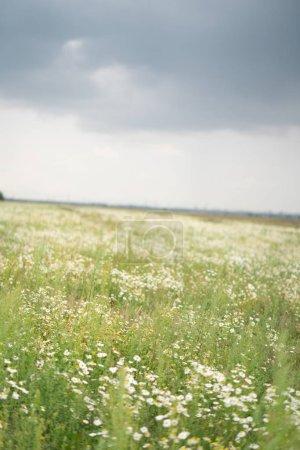 huge field of summer daisies