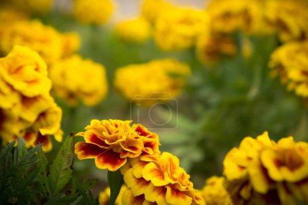 Flores de caléndula en el jardín en verano, flores amarillas, belleza