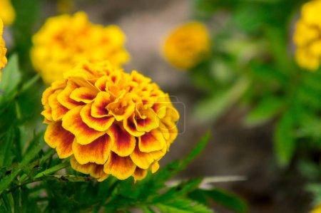 Photo pour Fleurs de souci dans le jardin en été, fleurs jaunes, belles fleurs en été dans la belle journée fleurs d'herbes - image libre de droit